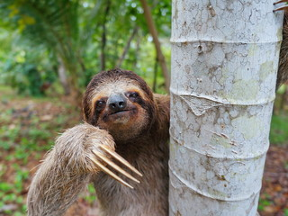 Portrait of brown-throated three-toed sloth