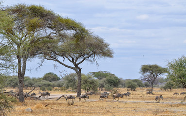 Herd of Gnu and Lonely Zebra