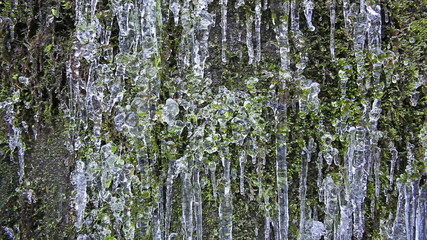 Wall of Green Moss with Frozen Icicles and Water Dripping
