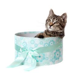 Striped kitten in blue gift box
