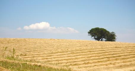 Campo di grano secco con alberi