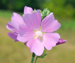 The wild flower plants Malva. View 1