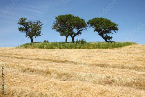 Deurstickers Droogte Campo di grano secco con alberi