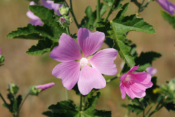 The wild flower plants Malva. View 4