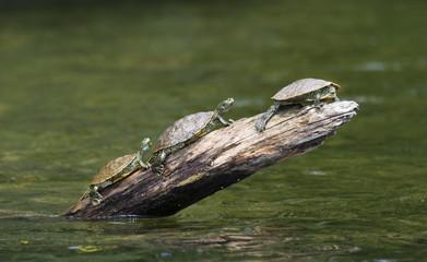 Three Turtles on a Log