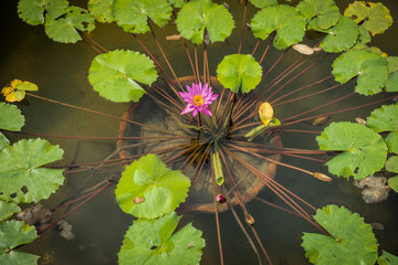 Pink Nymphaea Caerulea flower and green leaves in flowerpot in a