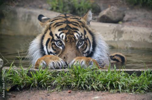 Foto op Canvas Tijger tiger