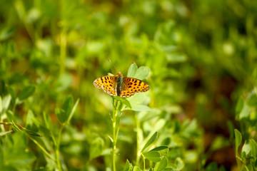 Farfalla Comune Marrone
