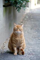 Gatto Europeo Rosso
