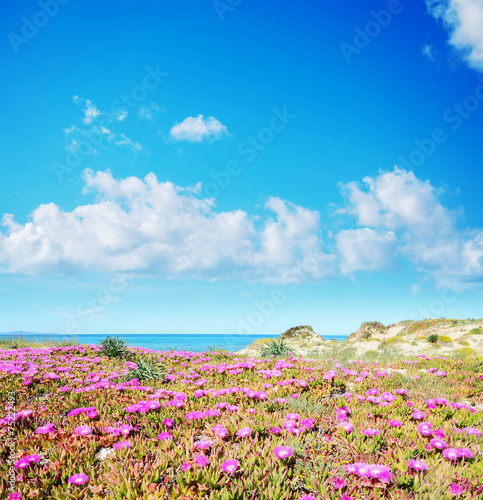 pink flowers in Platamona beach