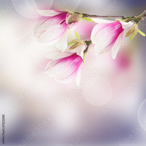 Foto op Canvas Magnolia pink magnolia tree Flowers