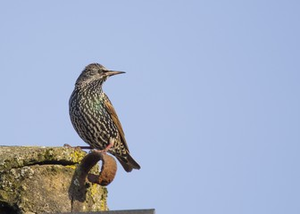 Starling on the roof