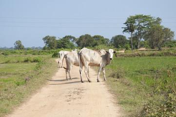 Cows crossing a path in Sri Lanka