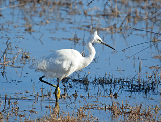 White bird, Little Egret (Egretta garzetta)