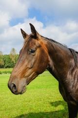 Hannoveraner auf der Weide, Pferdekopf - Porträt