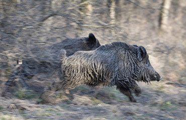 Wild boars running away