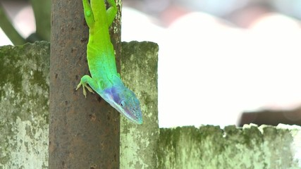 Chameleon or Cuban Knight Anole