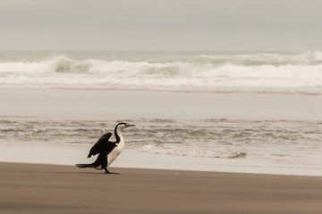 cormorant drying its wings on sandy beach