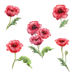 watercolor painting of set poppies