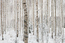 "Постер, картина, фотообои ""Close-up of a birch wood in winter in Finland"""