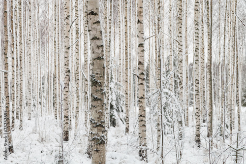 AluDibond Wald Close-up of a birch wood in winter in Finland