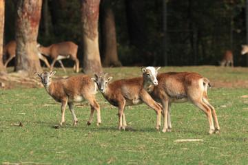muflone mammifero selvaggio poppi