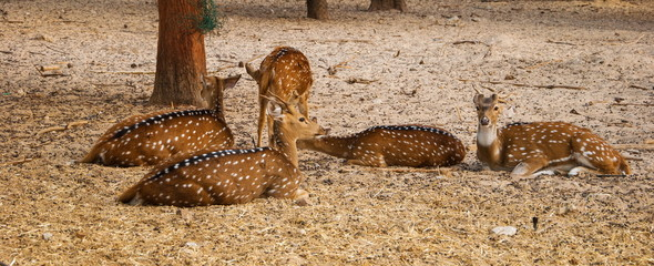 Several young sika deer lying in the hay