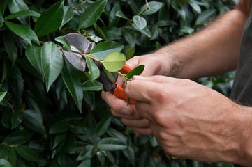 Man Pruning Bushes