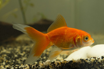 Gold fish with sand