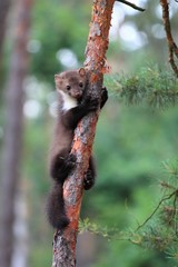 Marten beech, Martes foina on pine tree