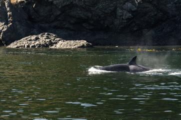branco di orche a Vancouver in Canada