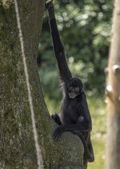 Colombian Black Spider Monkey