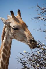 Giraffa mangia foglie di acacia