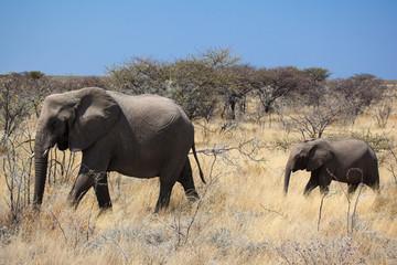Namibia elefante con piccolo