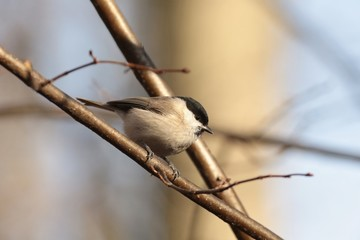 Marsh tit (Parus palustris) on a twig at dawn