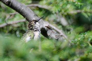 Ruffled Hummingbird Looking For Trouble