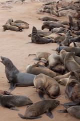 Otarie in Namibia