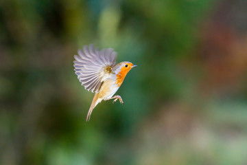 Robin hovering mid flight