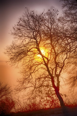 Intense dawn with vivid sun and autumnal oak  tree