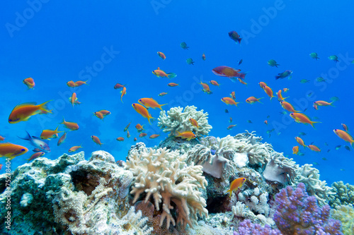 Fototapeta coral reef with exotic fishes anthias in tropical sea