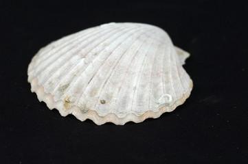 shell on black