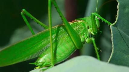 Green locust