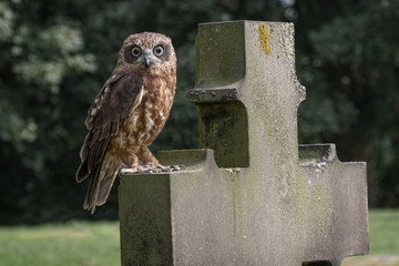 Boobook owl on headstone