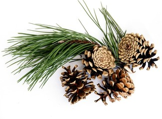 cones and twig of pine tree