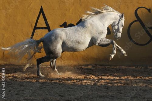 Papiers peints Equitation Schimmel im Galopp vor gelber Wand