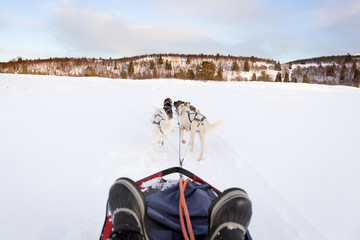 Sledding with husky dogs in the winter
