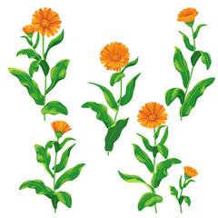 Calendula flowers set
