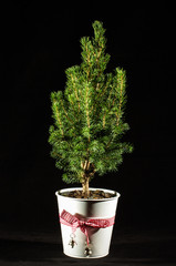 Miniature fir tree in the flowerpot isolated