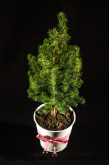 Small fir in the pot isolated on the black background