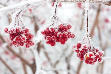 ash berries in snow